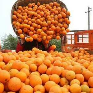 鲜果自产自销大量精品脐橙