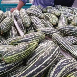 10万亩大棚甜瓜从清明节到8月份,大量上市,品种:早雪,...