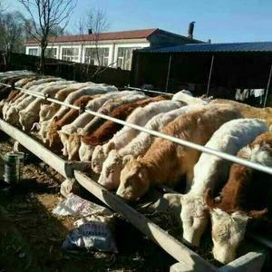 南阳黄牛养殖基地,主要经营夏洛莱,南阳黄牛,利木赞,夏南...