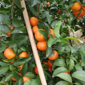 广西梧州蒙山,大量供应沙糖桔,味甜,皮薄,均匀,有光泽。