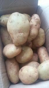 大量丽薯6号上市了,盈江县旧城镇上千亩地代办哦!4两以上
