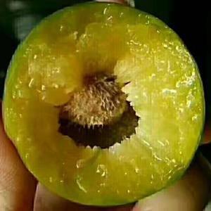 巴山脆李原于田氏青脆李,母树种植于1949年,因大部份种...