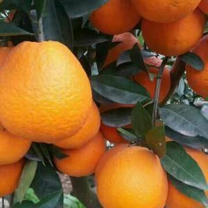 秭归脐橙,长虹、纽荷儿.园虹、品种都有,量大从优。本...