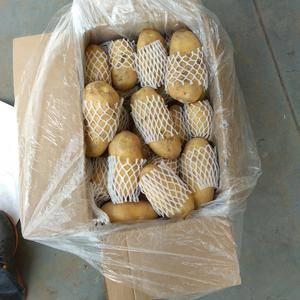 山东肥城冷库荷兰十五土豆持续大量供应中,装箱套网包装,二...