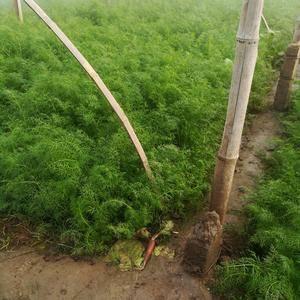 冷棚茴香大量出售,不是葡萄架底下的。粗壮匀称