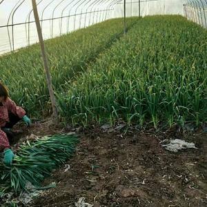 万亩红根蒜苗正在热卖中……叶绿根红,一吨起批,支持发货,...