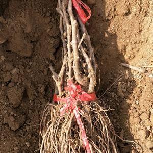 卢龙庆会种植苗木基地培育并出售各种嫁接苗,扦插苗。新品超...
