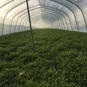 自家大棚种的芦蒿纯绿色产品