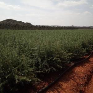低价大量出售雪松树苗