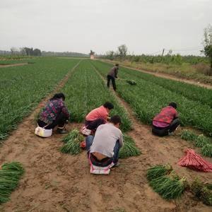 本基地二方余亩韭菜,黄河湿地种植,水源充分。口感一流