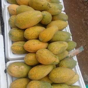 供应大量水果木瓜(番木瓜),种苗,有需要的至电13922...