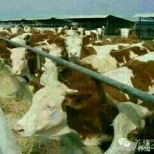 出售西门塔尔等肉牛续。联系15834282158微信同步