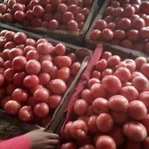 我处几百万亩硬粉西红柿大量上市,口感好,质量保证,我这里...