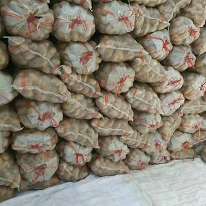 大量供应山东肥城,平阴地区荷兰十五土豆,装箱套网包装冷库...