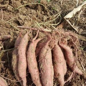 本基地向外出售商薯19种子3两以下