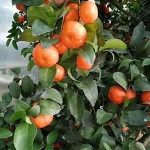 本人有2万余斤优质沙糖橘,霜冻前盖好薄膜。色、像、味佳。...