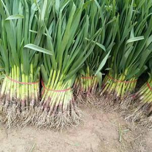 红根蒜苗大量上市中,有需要的客商随时联系。