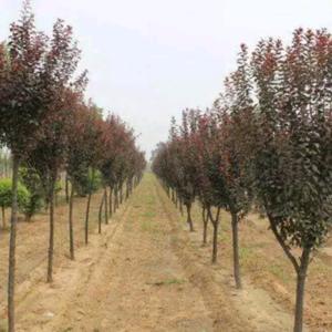 本人常年提供各种规格,各个品种大量的优质苗木,绿化苗木。...