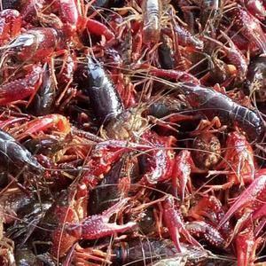 大量供应虾苗,成品虾,青虾,红虾。电话159967152...