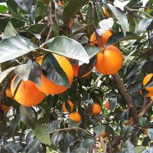 湖北脐橙王(伦晚)现在已经成熟上市销售,15587922...