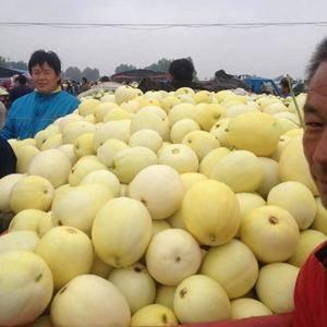 山东济南万亩景甜五号甜瓜种植基地,每年4月~8月!大量供...