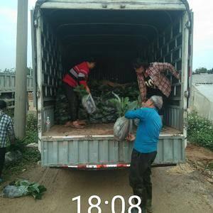 基地直销批发香蕉苗,粉蕉苗,红蕉苗,还有果树,品种多,品...