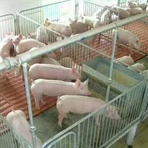 山东顺发仔猪,常年供应仔猪。品种好,好饲养,价格低。包成...