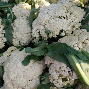 有机花菜陆续上市中,甘蓝月底上市中有机花菜可长年供应本地...