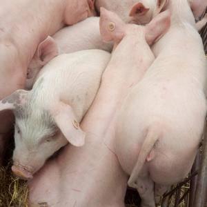 15092861333猪场供应瘦肉型三元仔猪,品种纯,好...