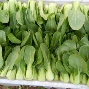 常年供应上海青油菜,每天发货量15-20吨。当天发车,保...