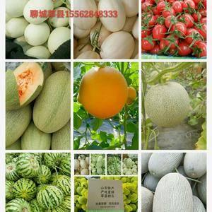 基地代收各种蔬菜瓜果,甜瓜系列,香瓜系列,网纹系列等20...
