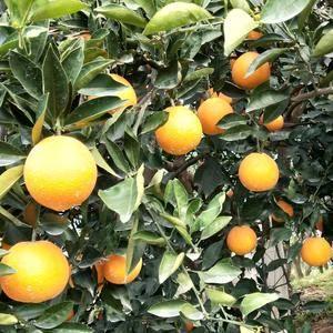 秭归脐橙,长虹,纽荷尔,二月红,中华红心橙,伦晚,普通脐...