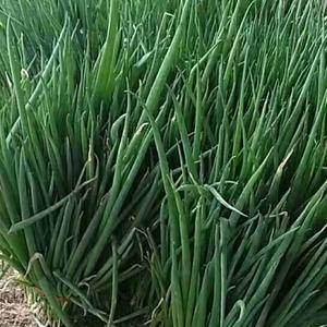 山东省济南章丘市是闻名全国的大葱繁育、种植基地,大葱种植...