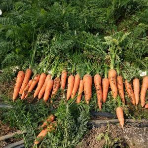 供应胡萝卜,水洗(可以选择带土),颜色好,条行好,价格优...