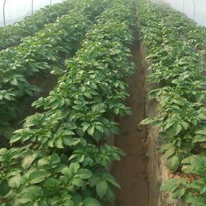 山东肥城地区大量供应库存荷兰十五土豆,装箱套网包装,通货...