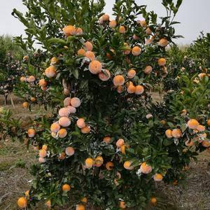 广西宜州区茂谷柑出售,自家种植,大概6000斤左右,加上...