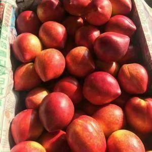 山东最大温室大棚油桃上市供应,品种有:中油四号,中油五号...