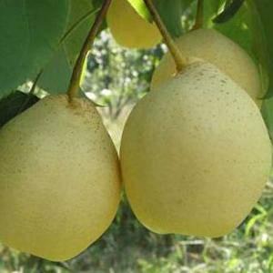 产于山东省滨州市阳信县。外形美观,色泽金黄,呈倒卵形,因...