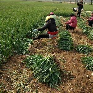 本地红根蒜苗己大量上市,日上货量约百吨,可水洗与干货,加...