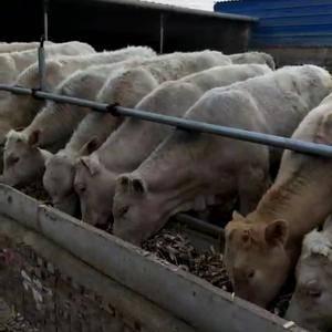 山西肉牛养殖场,常年出售:3-12个月西门塔尔、利木赞、...