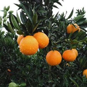 湖北夏橙/秭归夏橙/夏橙产地秭归,中国脐橙之乡[1507...