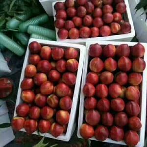 大棚油桃上市供应,颜色鲜亮,个头大,品种有126.中油四...
