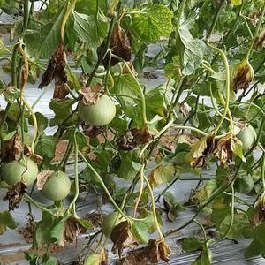 绿宝香瓜,特甜,现货找批发商