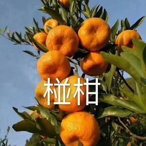本处大量出售宜昌碰柑、芦柑、春碰、晚芦、秭归脐橙、长虹...