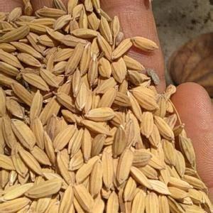 长期出售云南瑞丽产稻谷,量大价格从优!