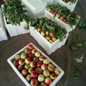 18266723909山东大棚油桃大量供应,价格优惠,冷...