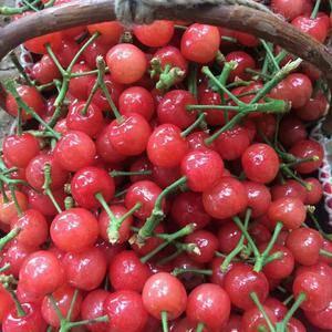 我处大棚樱桃大面积上市,上货量大,品种全,口感好,光泽高...