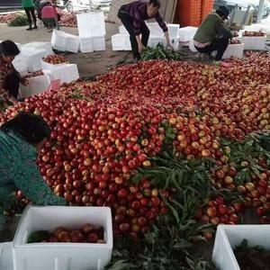 山东莒县大棚油桃现已大量上市,品种主要以126.中油五号...