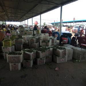 山东省最大的油桃种植基地大量上市了
