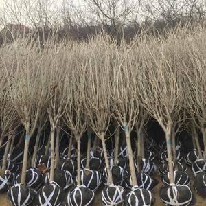 大量供应4到5公分木槿树苗。